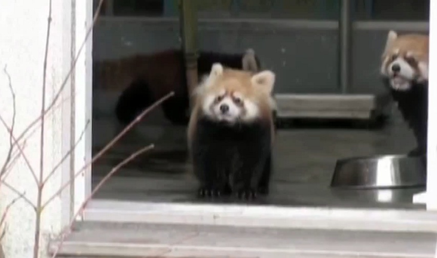 Red pandas scared gif
