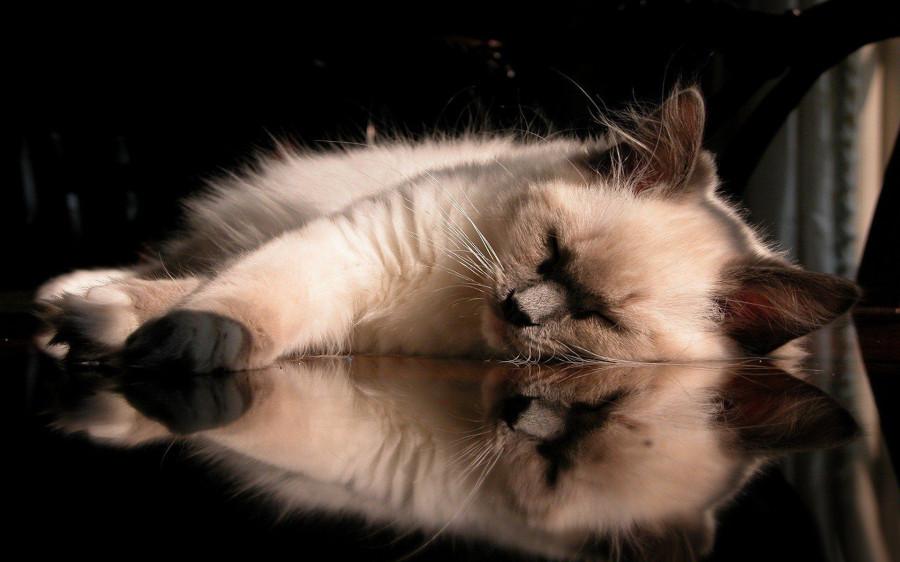 Wallpaper-cat-reflection-serenity