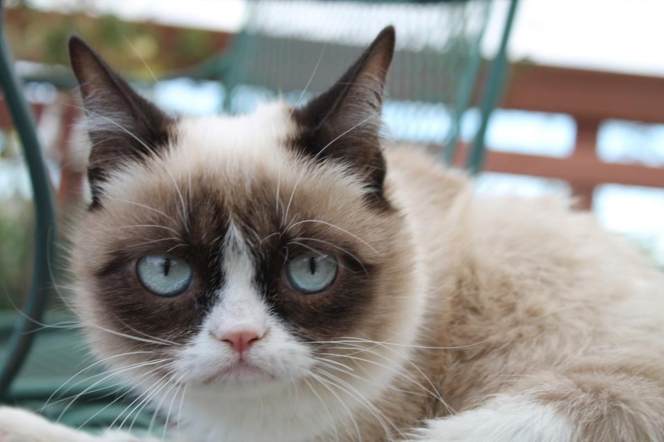 Порода сердитого кота