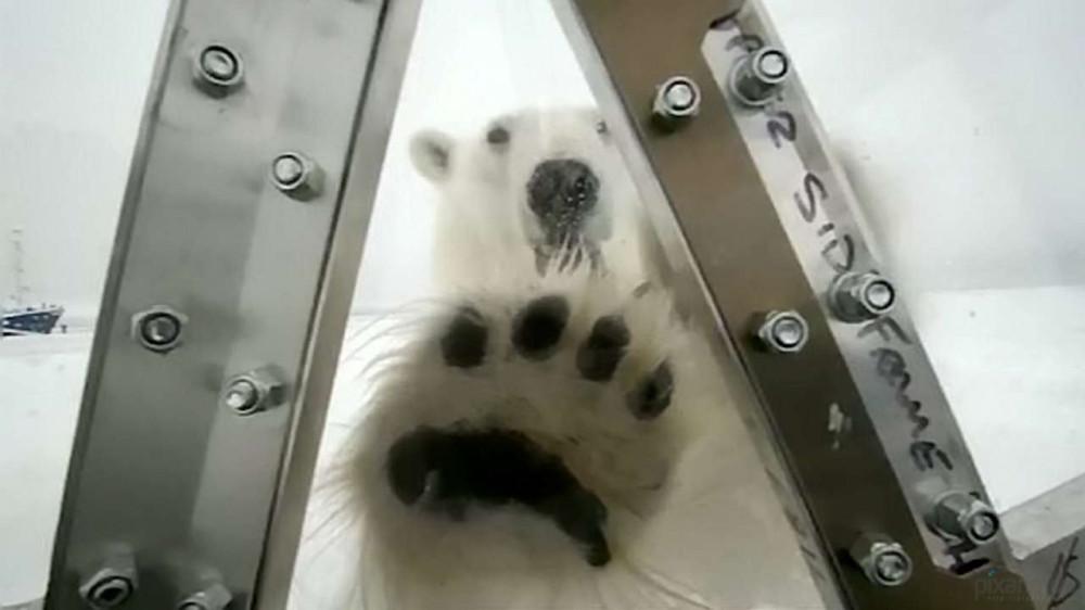 Polar-bear-gordon_www.pixanews-7
