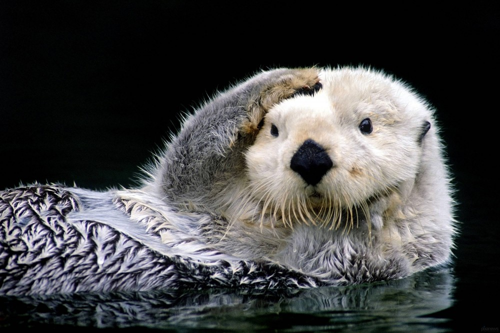 The-cutest-otter_www.pixanews-3