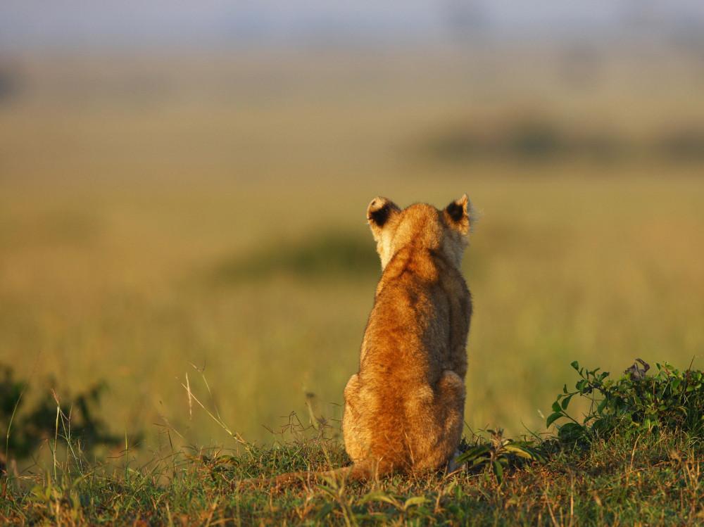 Lion_cubs_www.pixanews.com_