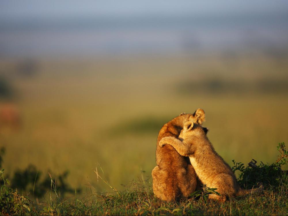 Lion_cubs_www.pixanews.com-1