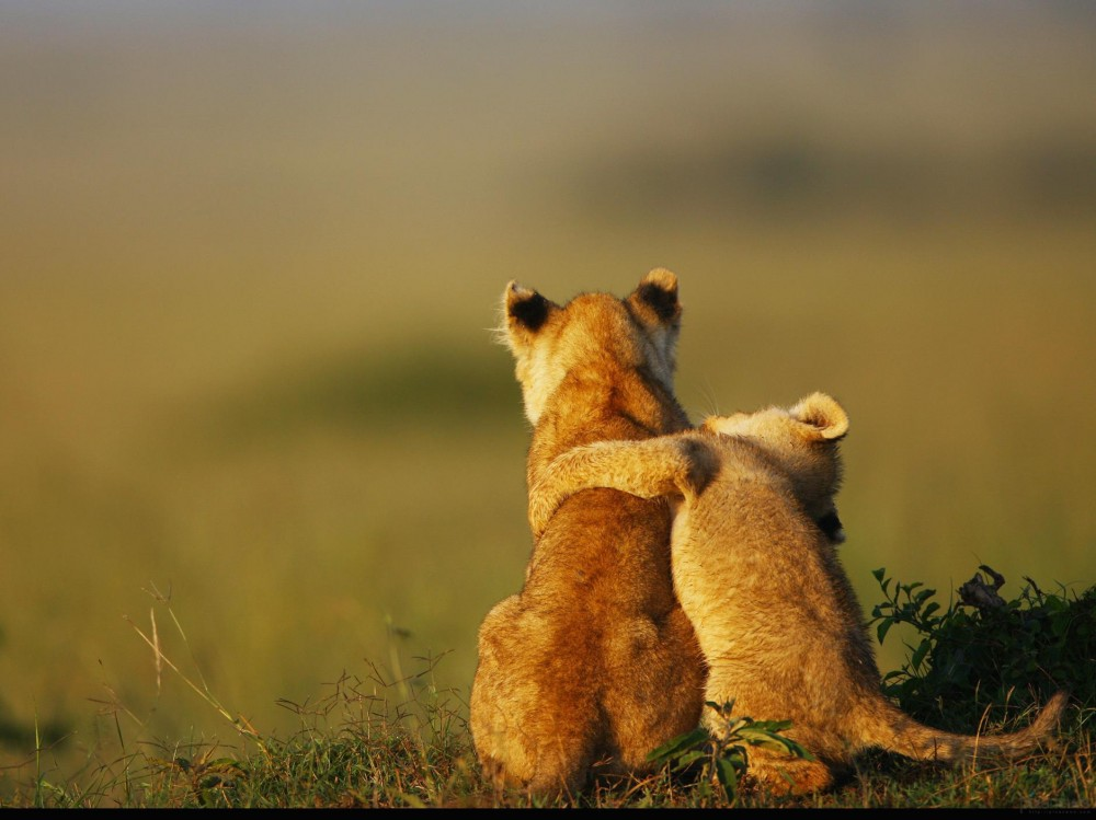 Lion_cubs_www.pixanews.com-2