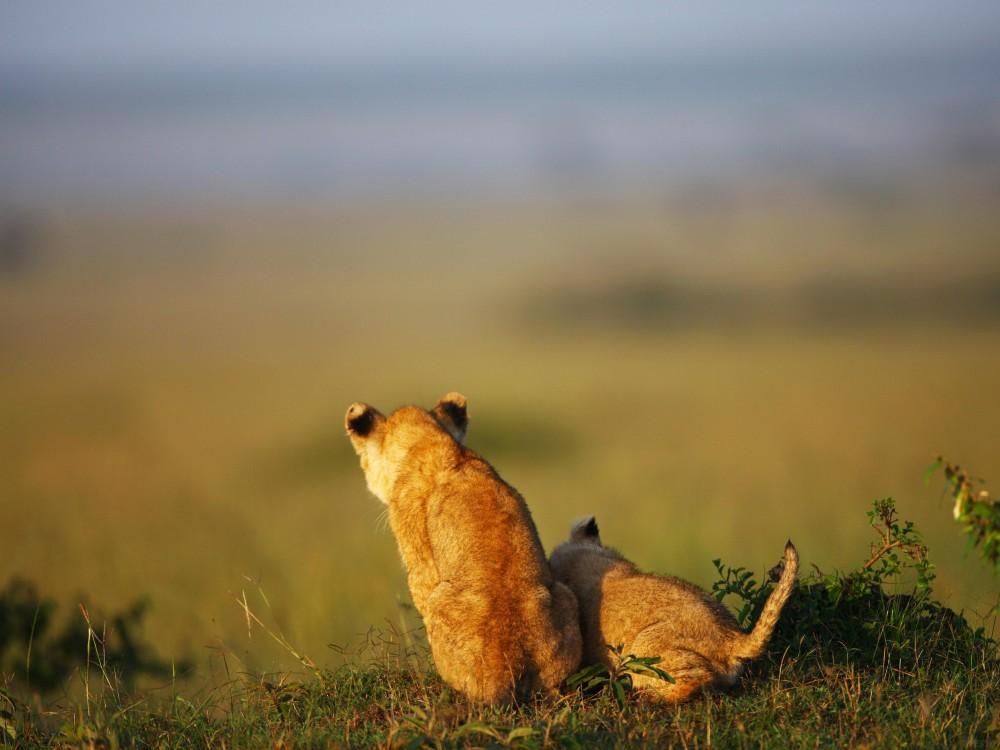 Lion_cubs_www.pixanews.com-3