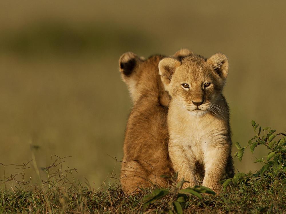Lion_cubs_www.pixanews.com-4