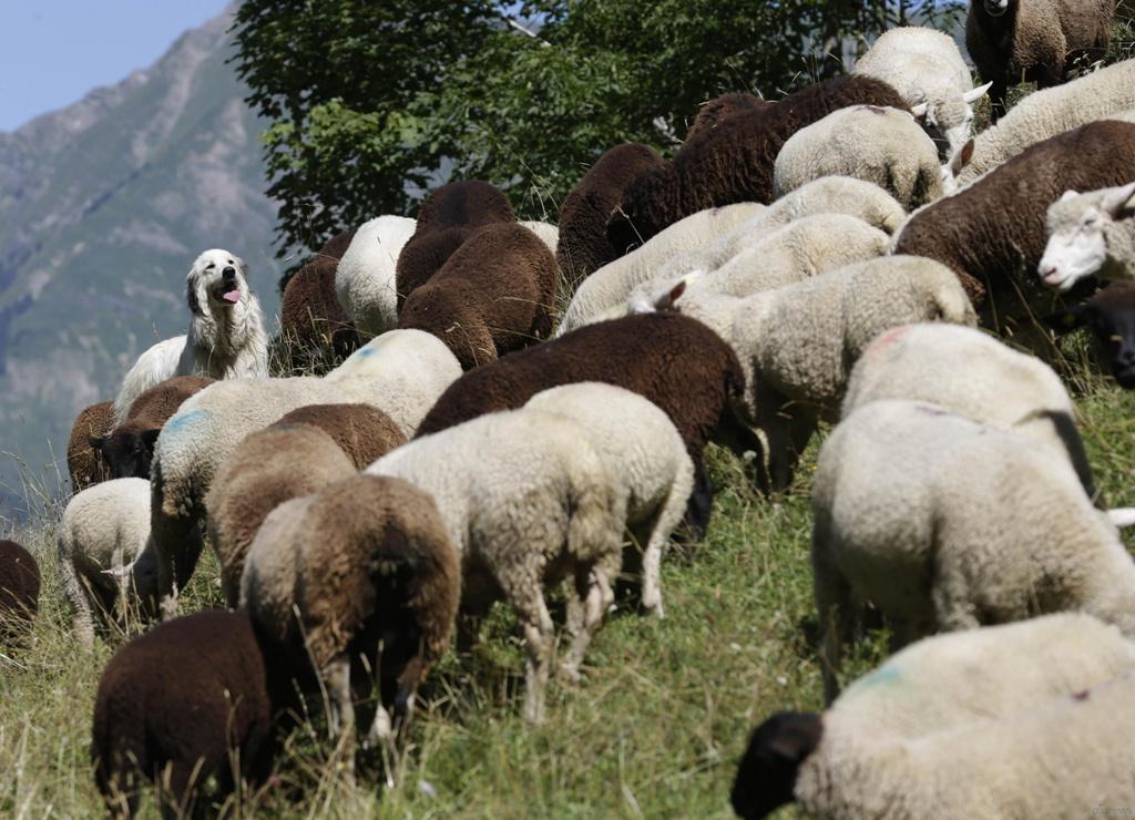 Pyrenean-Mountain-Dog-2