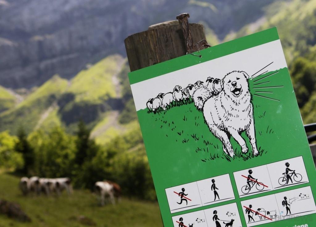 Pyrenean-Mountain-Dog-4