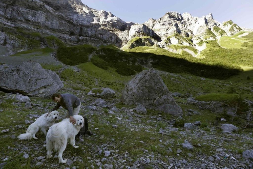 Pyrenean-Mountain-Dog-6