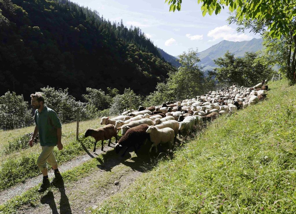 Pyrenean-Mountain-Dog-7