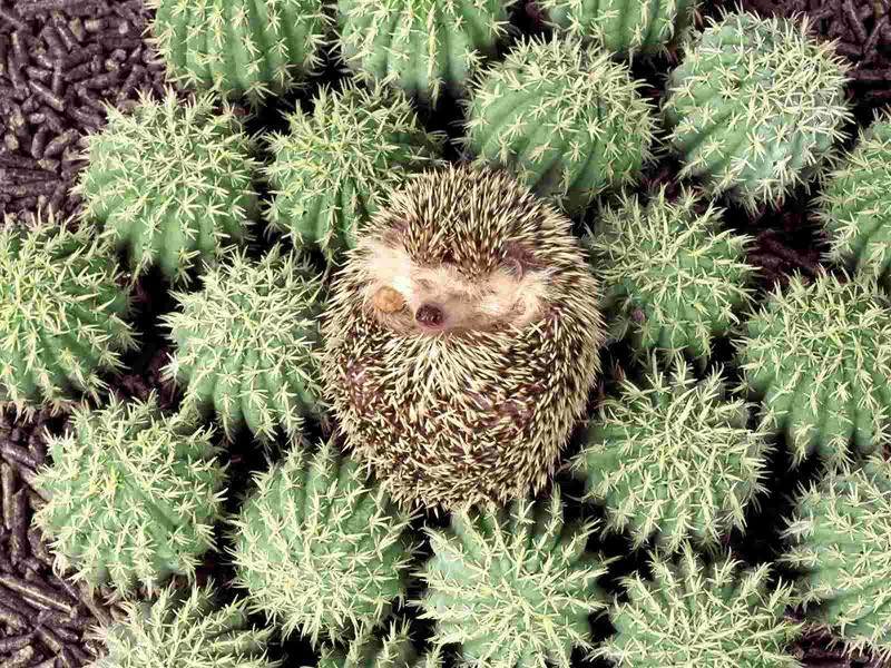 Hedgehogs01