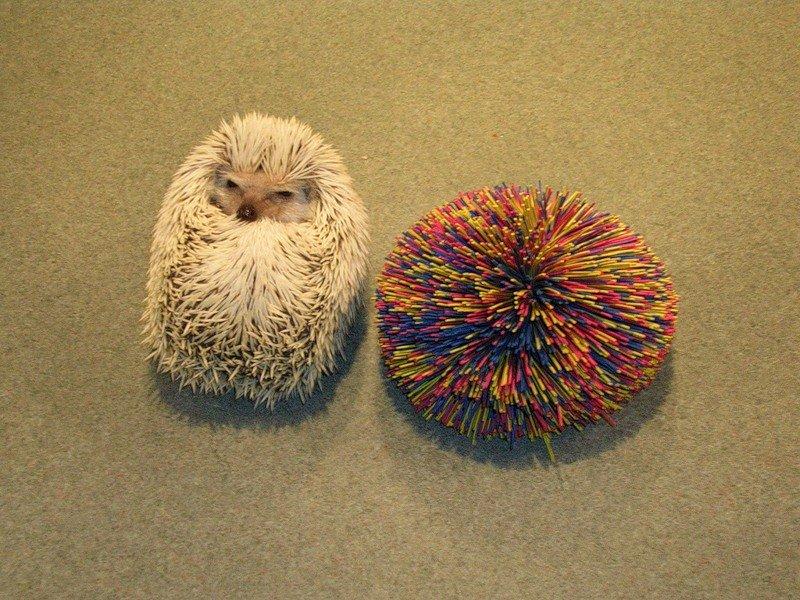 Hedgehogs02