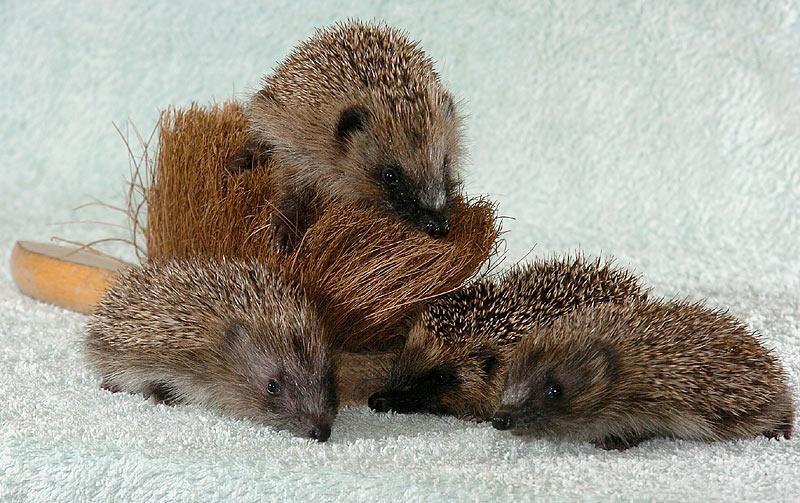 Hedgehogs03
