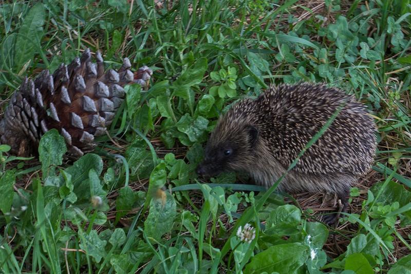 Hedgehogs04