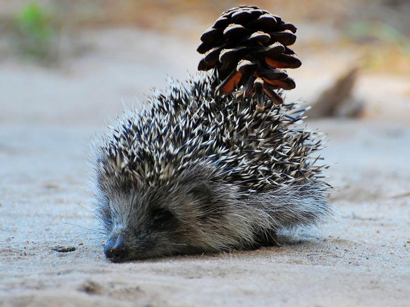 Hedgehogs05
