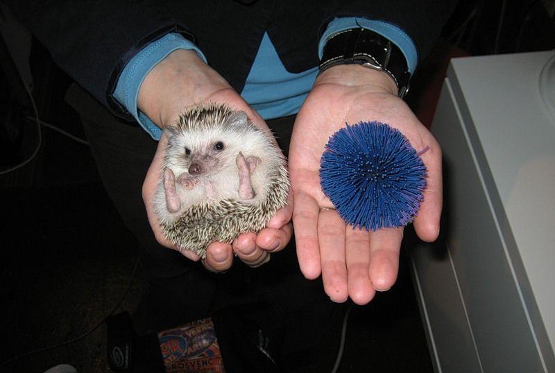 Hedgehogs08