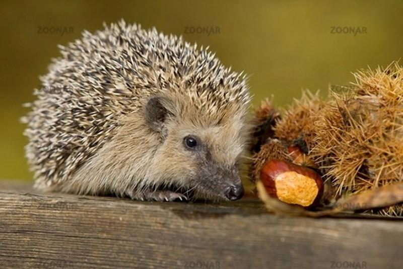 Hedgehogs09