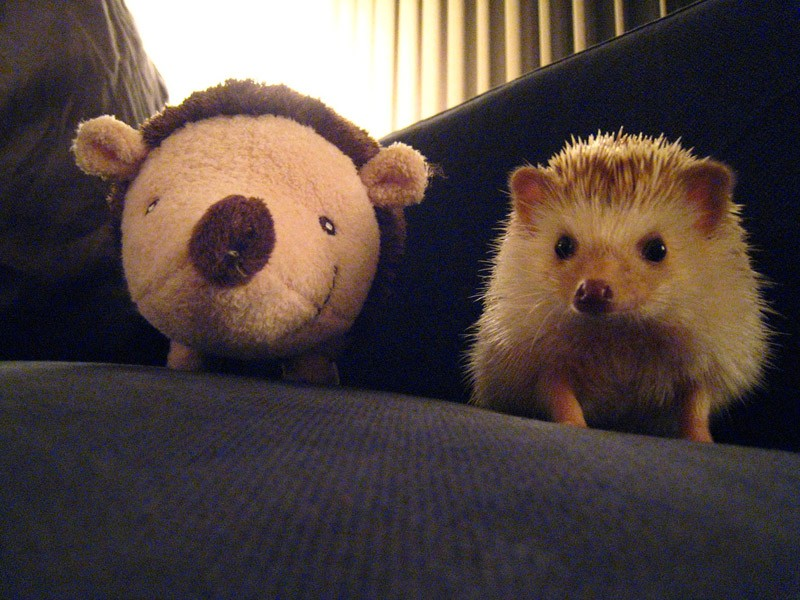 Hedgehogs10