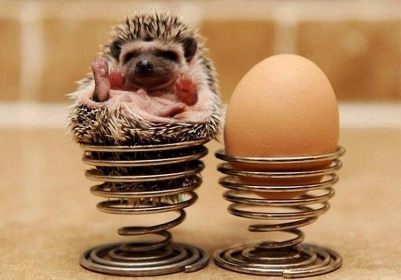 Hedgehogs11