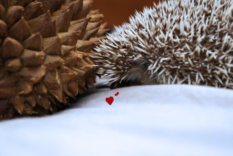 Hedgehogs13