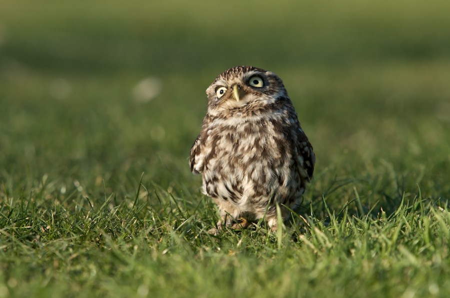 20120207214133_dsc_6368 little owl