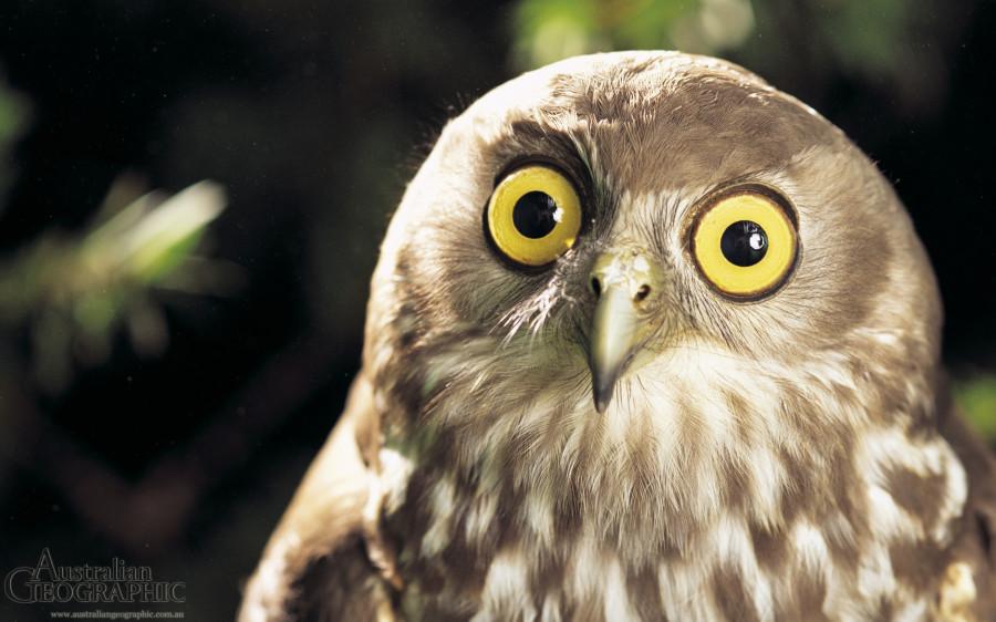 barking-owl