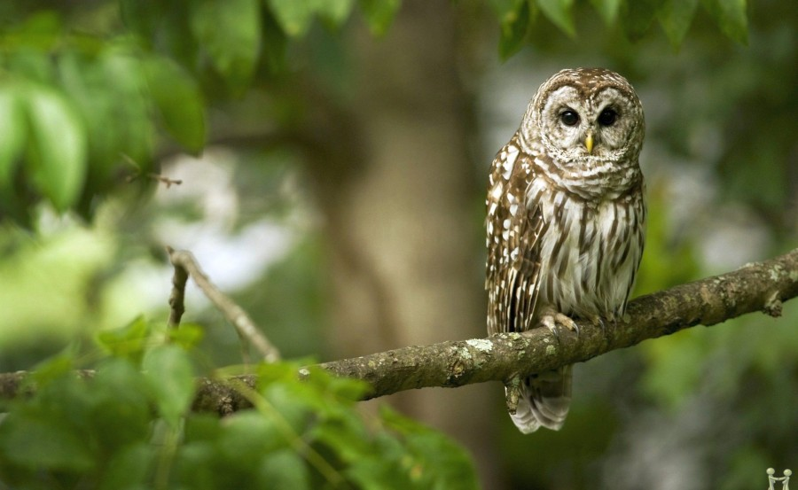 beautiful-owl