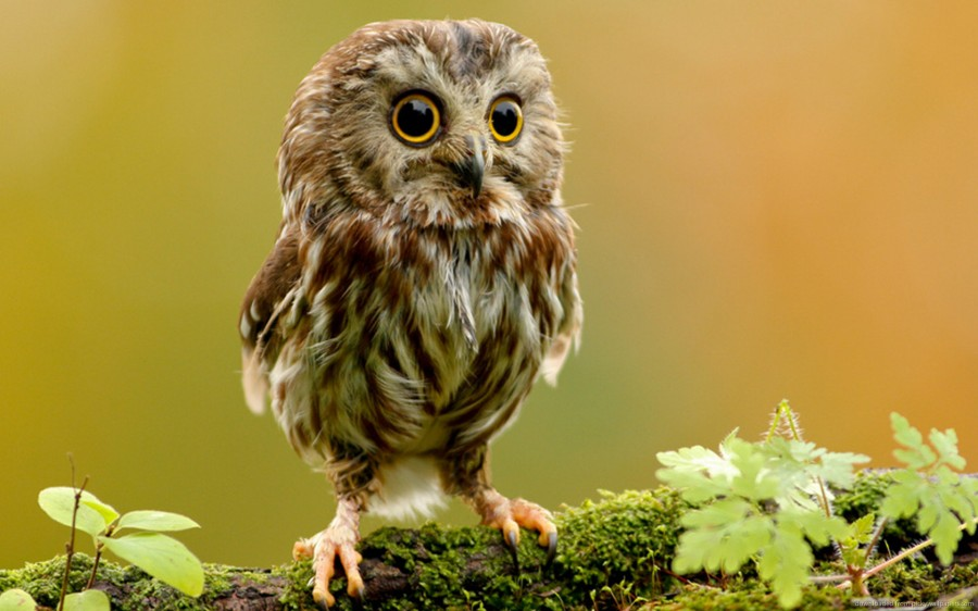 cute-little-owl