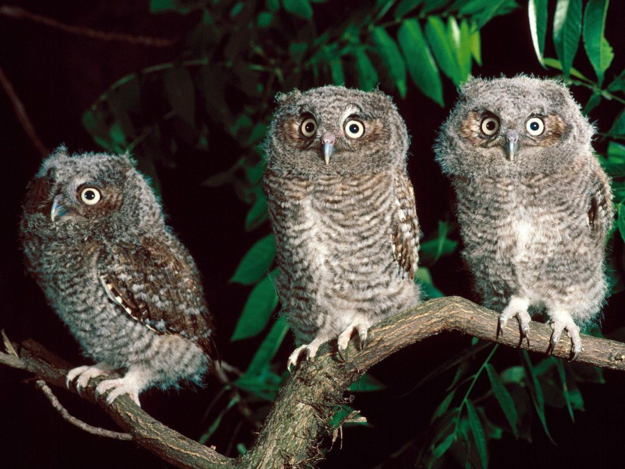 Owl-owls-31450195-1600-1200