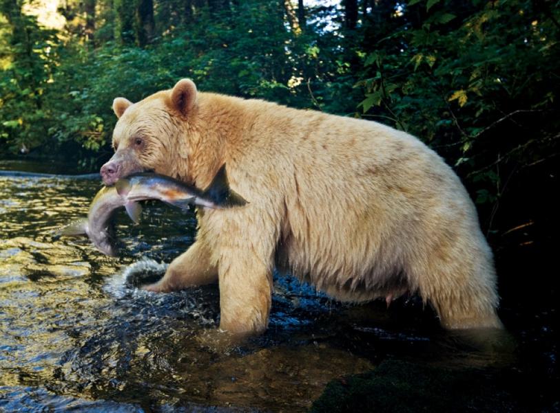 kot_de_azur: Медведь-призрак