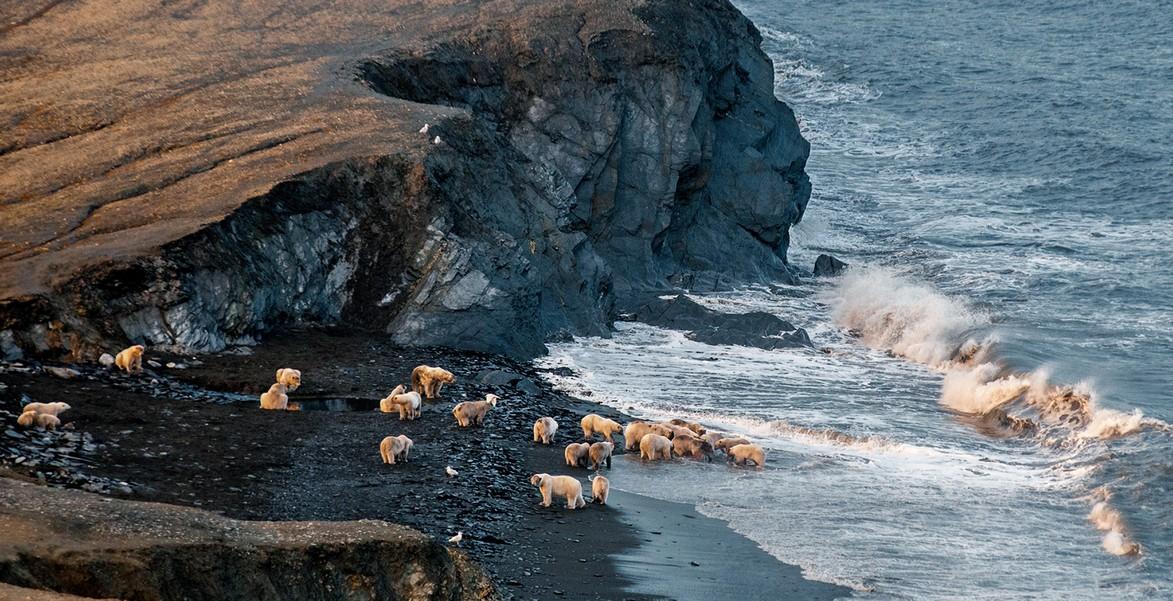 07_polar_bears_summer_congregation_1369471393_big