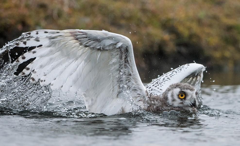 10_snow_owl_flying_1369471394_big