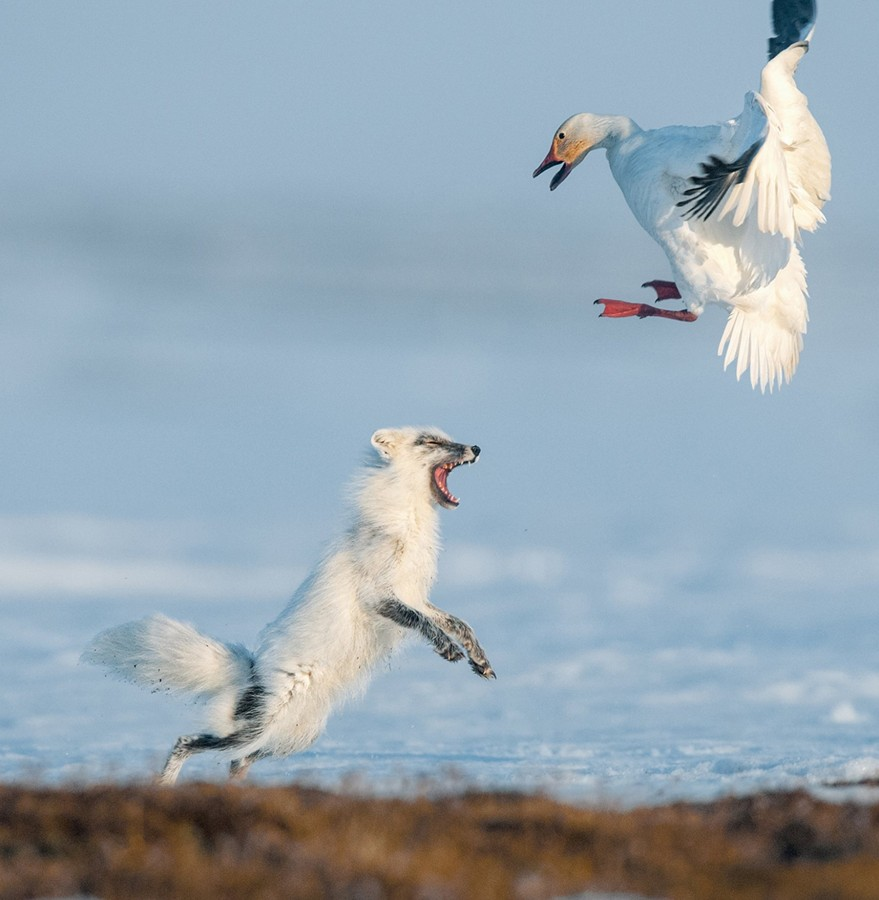 04_feisty_fox_drives_snow_goose_1369471393_big