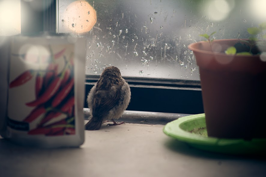 found-blind-baby-sparrow