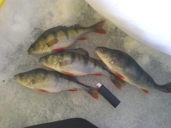 окуневая рыбалка на финском заливе
