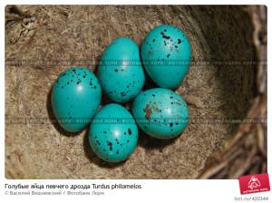 Какого цвета яйца у дрозда