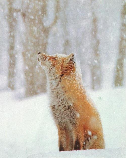 лис и снег
