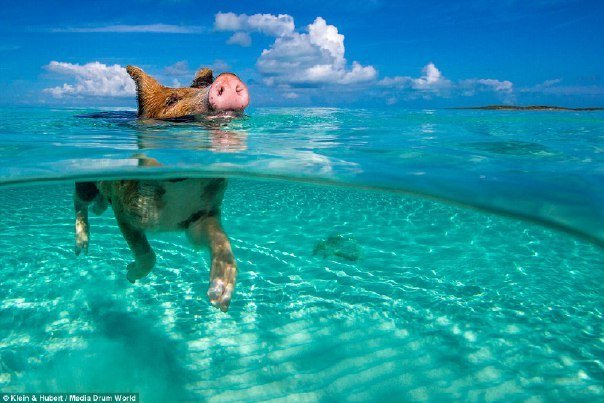 свин плывет