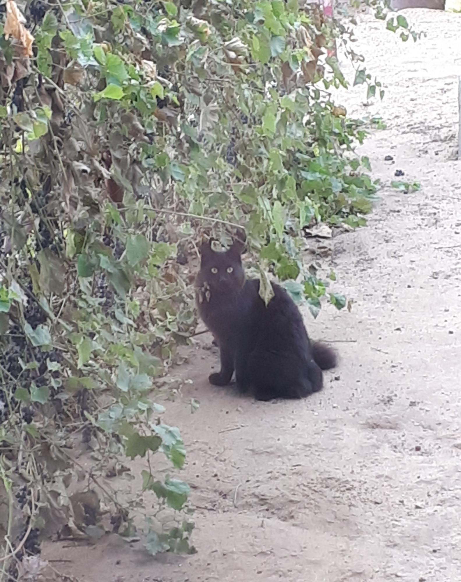 Соседский кот пришел воробьев в винограде ловить)