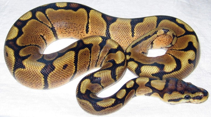 WomaBallPython