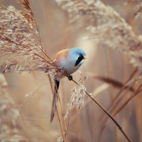 усатая синица