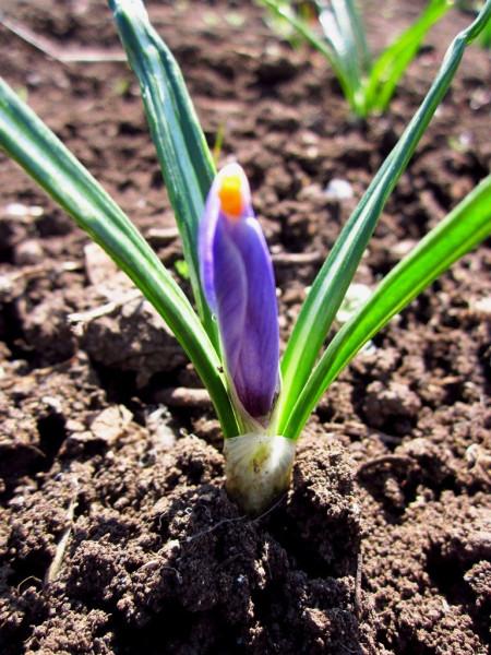 19 апреля, полураспустившийся крокус на огороде