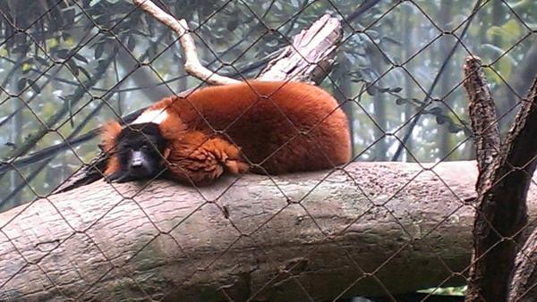 lemurs5