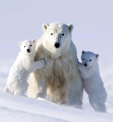 polar-bear-baby