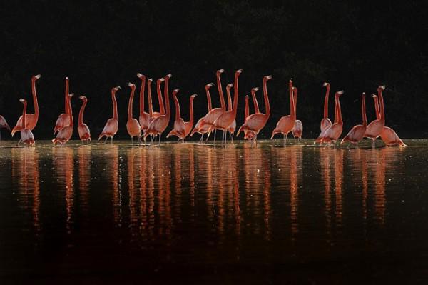 шоу карибских фламинго