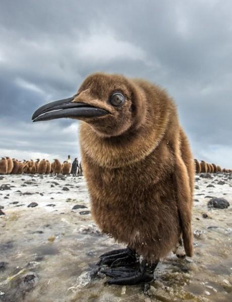 пока еще гадкий пингвиненок