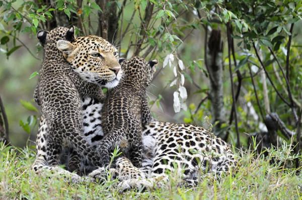 жизнь юного леопарда