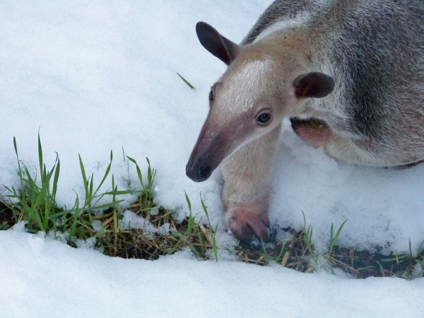 ori_tamandua_in_the_snow_by_zerdafennecus-d4rtasp
