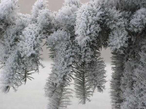 zimnie-vetvi-645x483