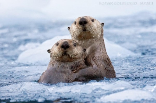 seaotters01-645x429